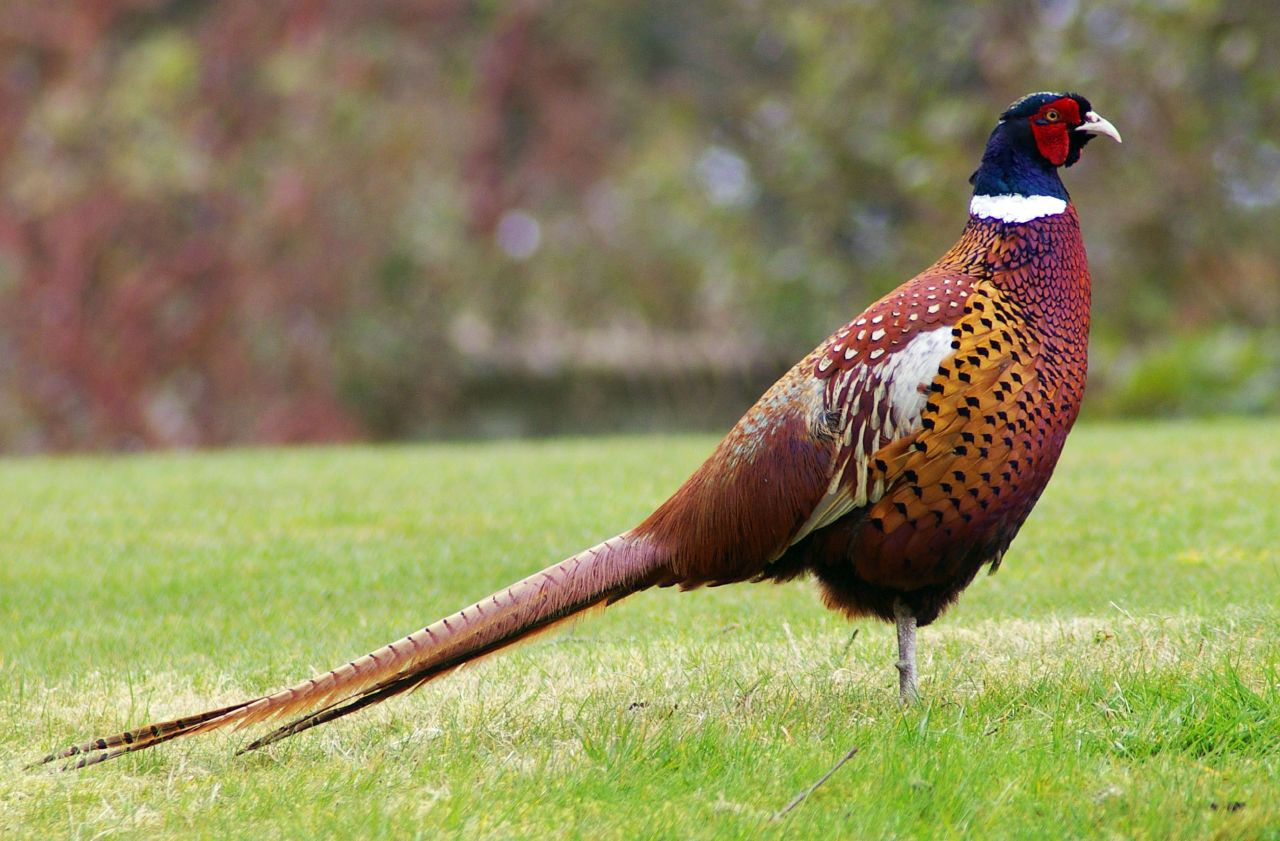 Where have all the pheasants gone?