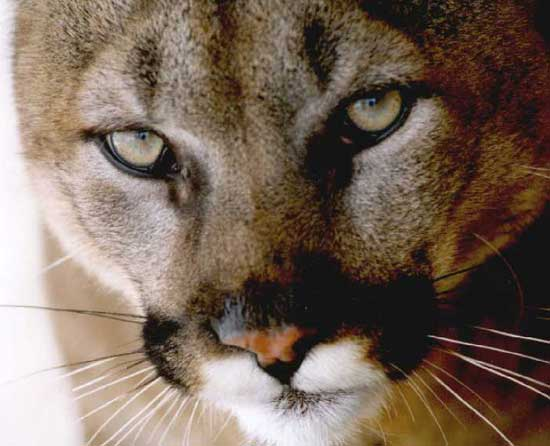 Staying safe in cougar country