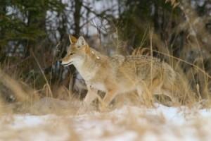 wild coyote running through snow