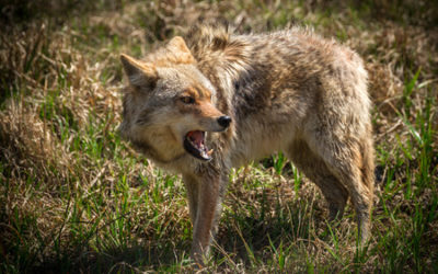 Coyotes are making a huge comeback