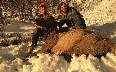 Late Season Utah Cow Elk