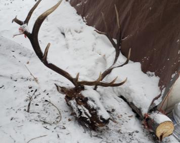 Elk (2019)